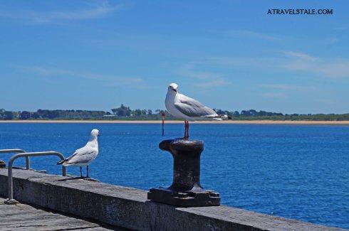 phillip island seagulls