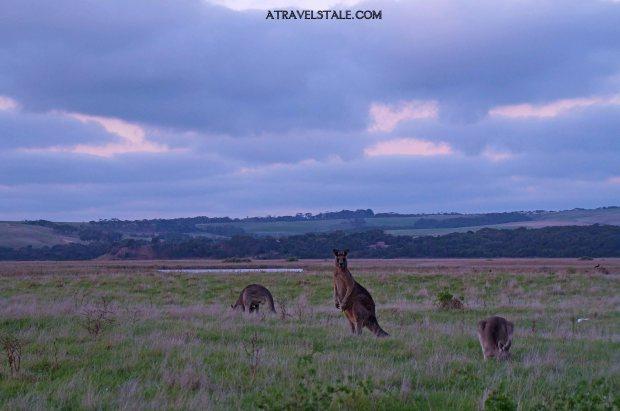 princetown kangaroo